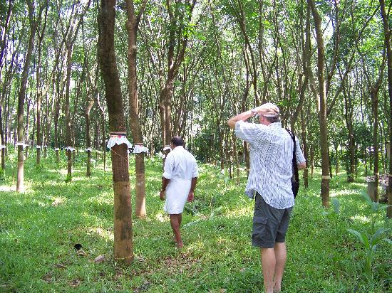 Meenachil Enclave Homestay: our walk to the rubber plantation