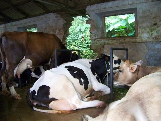 Meenachil Enclave Homestay : Cows at the dairy farm/ashram