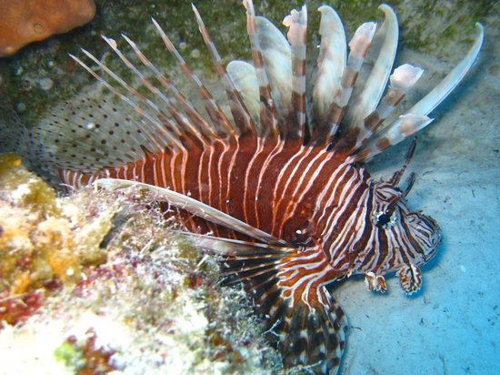 Flamingo Divers: Lionfish