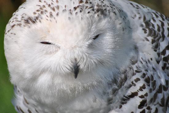 Dublin Zoo: Snowy Owl