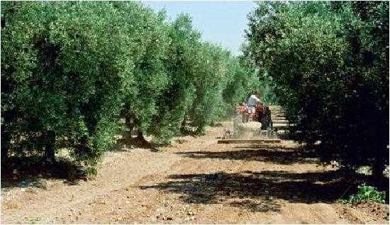 Moulin CastelaS: Castelas Olive trees