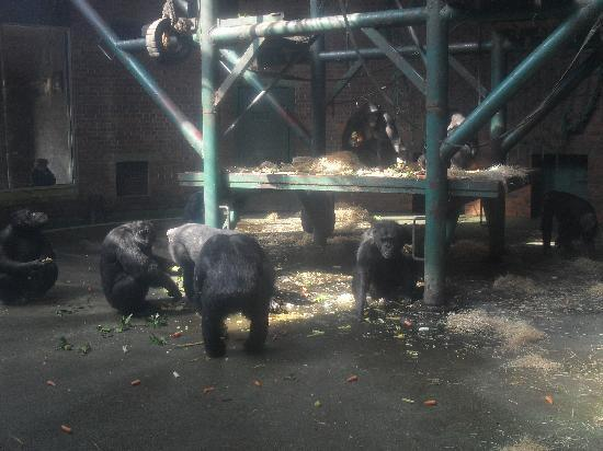 Честер, UK: The chimpanzee house