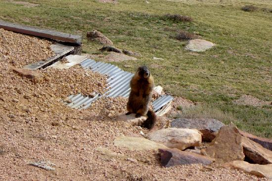 Pikes Peak Cog Railway: A playful marmot beside the tracks