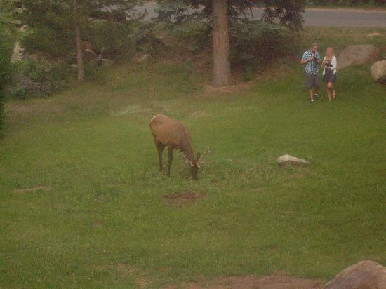 Creekside Suites & Condos: Elk in the back area