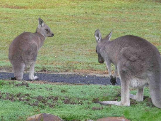 D'Altons Resort: kangaroos early morning