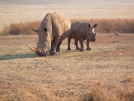 Muldersdrift, South Africa: Rhinos
