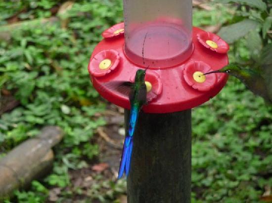 Pachijal Reserva Ecologica: i colibri