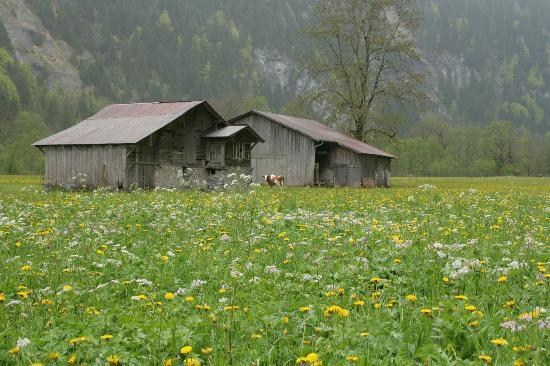 Gimmelwald, İsviçre: Beautiful wild flowers and scene in Lauderbrunnen Valley