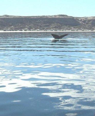 Sør-Amerika: Ballenas Franca Austral  en Península Valdés
