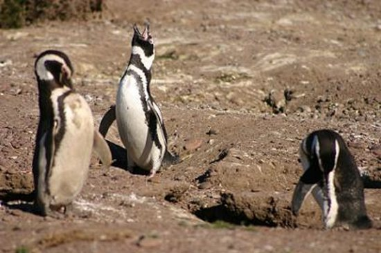 South America: Pingüinos de Magallanes en Punta Tombo