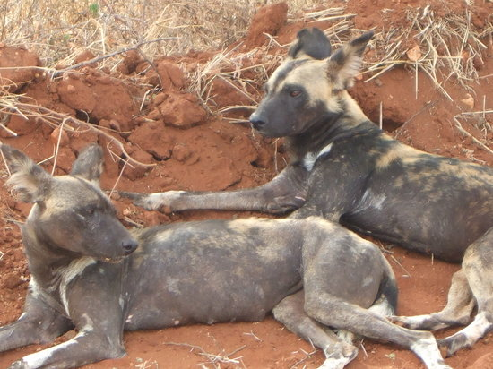 F. King Tours and Safaris - Day Tours: Hunting dogs (very bad)