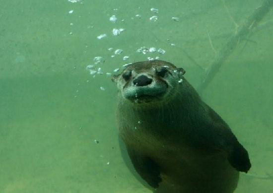Jackson Zoo: Swimming Otter