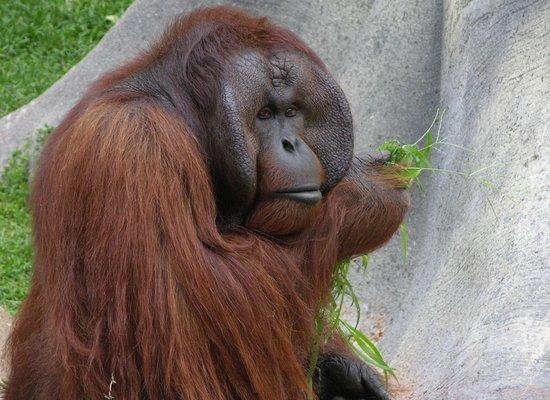 Jackson, MS: Orangutan
