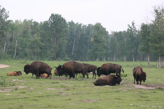 Elk Island National Park: Bison Paddock Loop