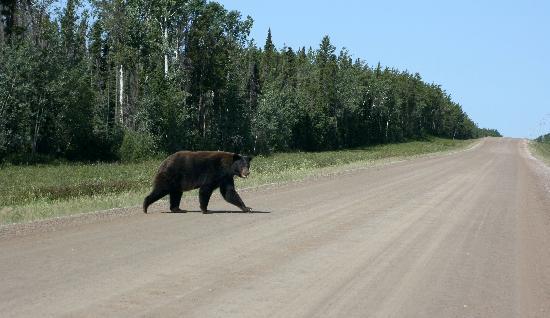 Wood Buffalo National Park: Black Bear Begegnung auf der Parkstraße