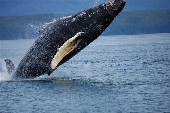 Icy Strait Point: Icy Straight Point, Whale Breach