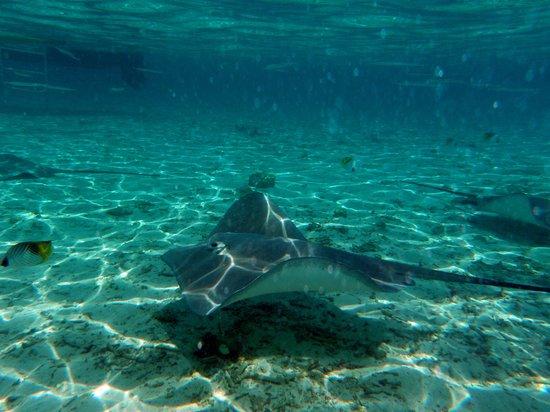 Bora Bora, Polinesia Prancis:                   Stingray Feeding