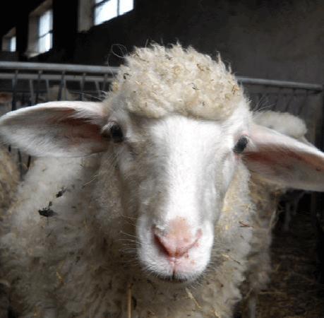 Agriturismo Canu : Sheeps on our Farm