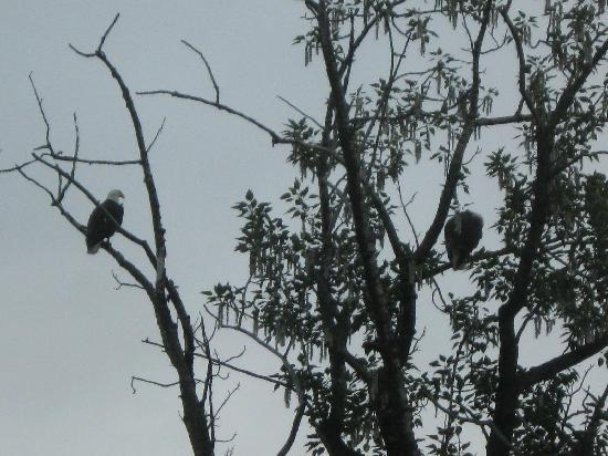 Alaska Creekside Cabins : Eagle sighting