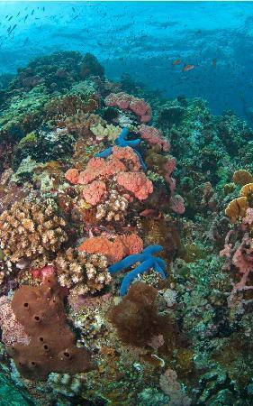 Marco Vincent Dive Resort : Starfish Verde Island