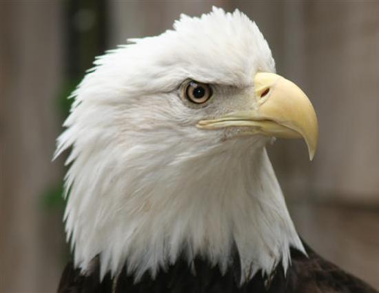 Eugene, OR: Bald eagle