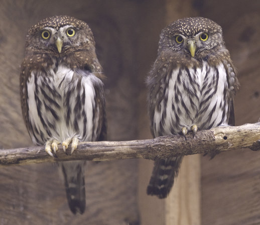‪‪Cascades Raptor Center‬: Northern pygmy owls‬