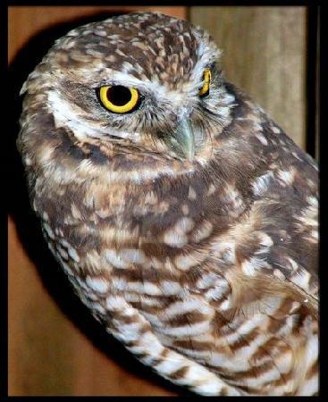 Eugene, OR: Burrowing owl