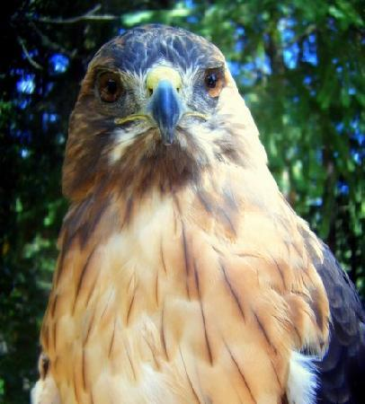 Eugene, OR: Red-tailed hawk