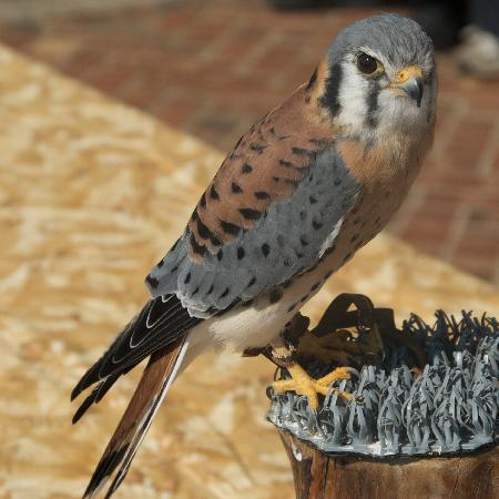 ‪‪Cascades Raptor Center‬: American kestrel‬