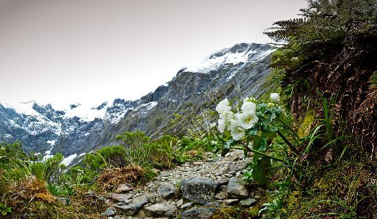 Fiordland National Park, Nuova Zelanda: Mt Cook Lily up Mackinnon Pass