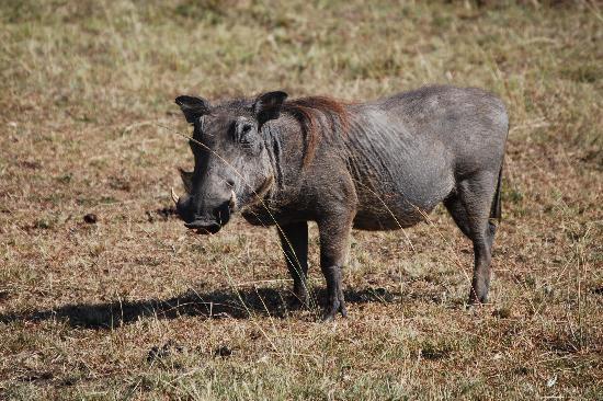 Porini Mara Camp: pumba
