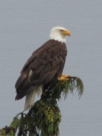 Domaine Madeleine: Bald Eagle on her tree outside our window.