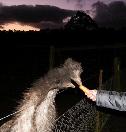 Lavers Hill, Australien: Feding emu