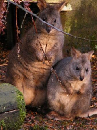 Lavers Hill, Australien: Pademelons