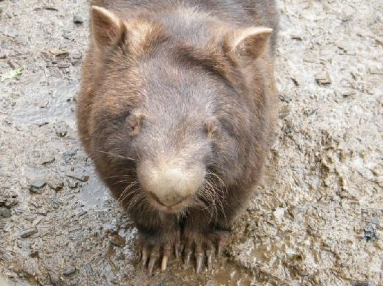 Lavers Hill, Australien: Wombat