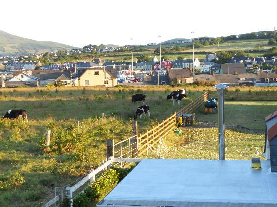 Bambury's Guesthouse: Cows in the backyard