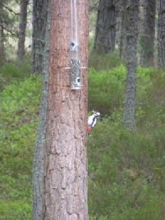 RSPB Loch Garten: Great Spotted Woodpecker observed from the 'hide'