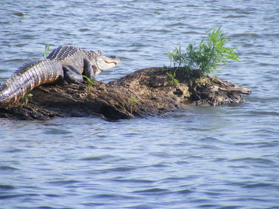Breaux Bridge, LA: This is one of many gators we saw !!!  Awesome !!!