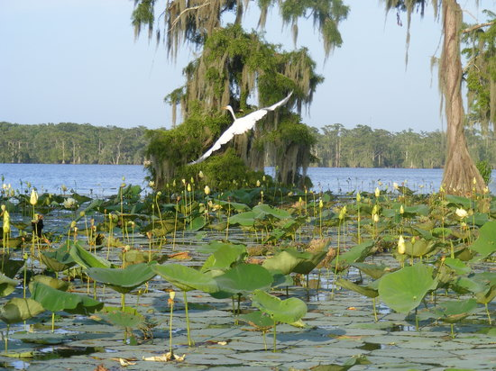 Champagne's Cajun Swamp Tours : A beautiful bird in flight