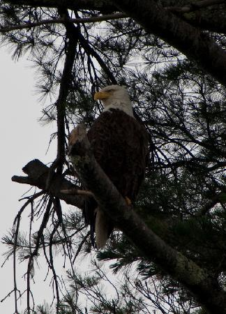 Robbins Motel: Bald Eagle