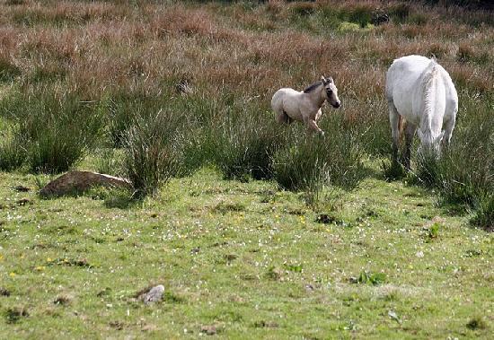 Connemara National Park : Connemara ponies