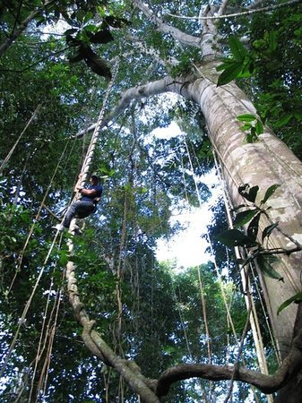 Sud America: el arbol mas grande  del la selva