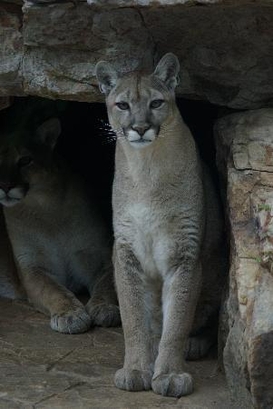 Centre Hall, PA: Mountain Lion (Zoom Lens)