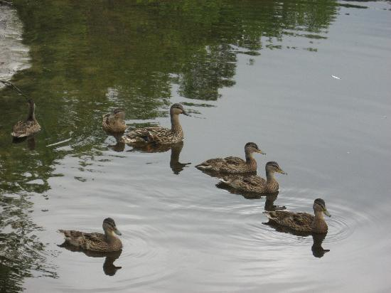 Black Lantern B & B: Family of ducks at the river.