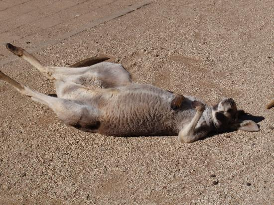 Currumbin, Avustralya: A sunbathing roo
