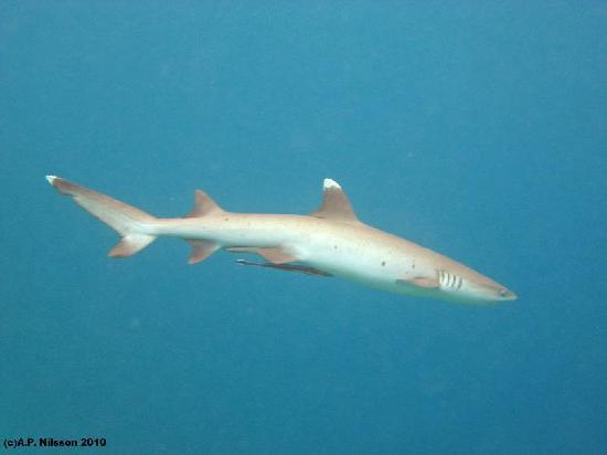 Madoogali Tourist Resort: White-tip reef shark. Madoogali housereef snorkelling.