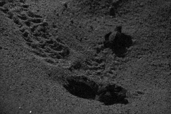 Sant'Andrea Apostolo dello Ionio, Ιταλία: nascita tartarughe 2