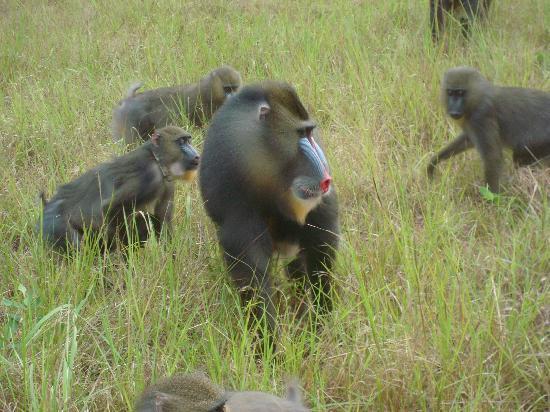 Габон: Mandrills im Park de la Lekedi