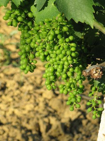 Agriturismo I Fuochi: Weinberge rings rum