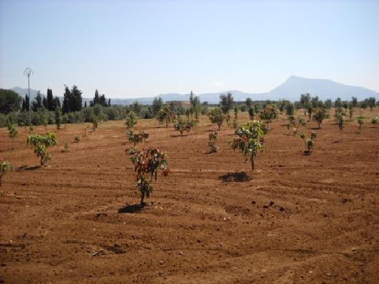 Balestrate, Ιταλία: Alberi di... Mango !